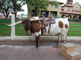Oddball Escapes baseball road trip sports tour long horn cattle Texas included sightseeing