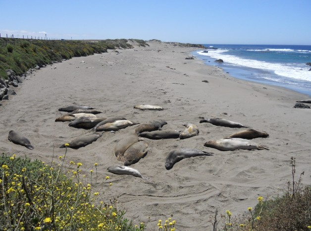Elephant Seals on Pacific Coast Drive