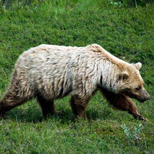 Alaska-Globus-Denali-National-Park-bear