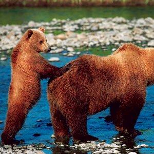 Alaska-Globus-Denali-National-Park-grizzly-bear
