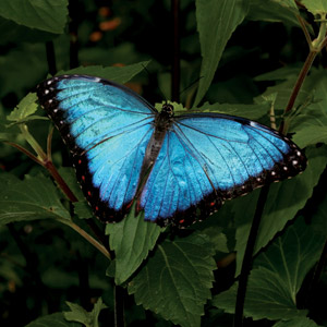 Ecuador-Amazon-blue-butterfly-Cosmos
