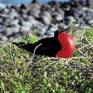 Ecuador-Galapagos-Great-Frigate-Bird-Cosmos