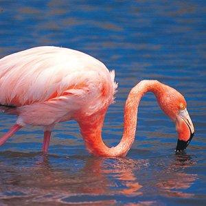 Ecuador-Galapagos-flamingo-Cosmos