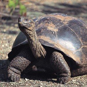 Ecuador-Galapagos-giant-tortoise-Cosmos