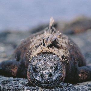 Ecuador-Galapagos-land-iguana-Cosmos
